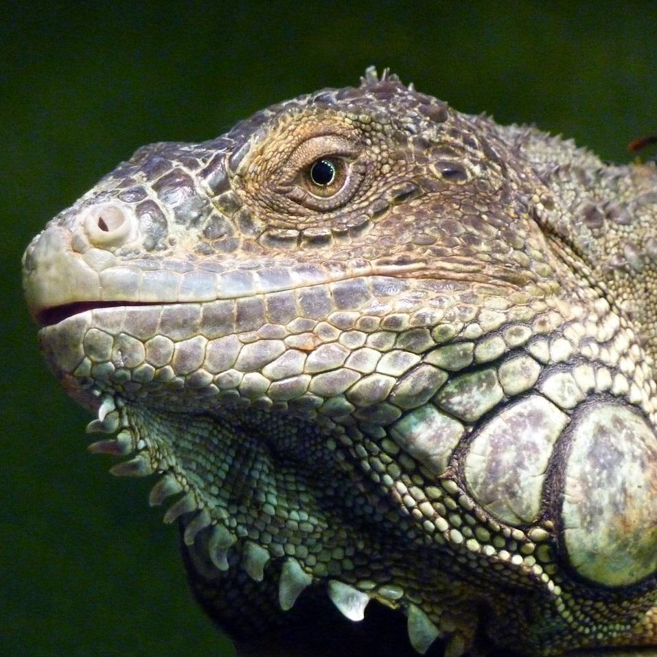 iguana Sqr