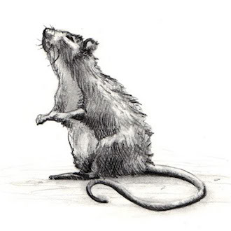 Rat sketch
