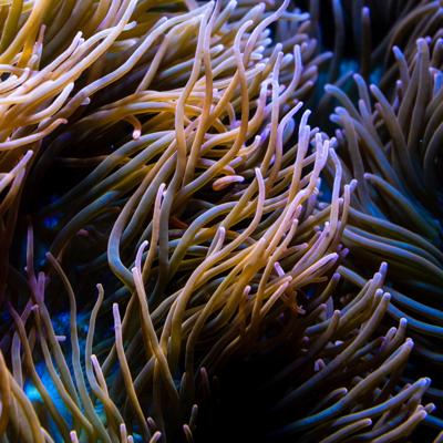 dark anemone