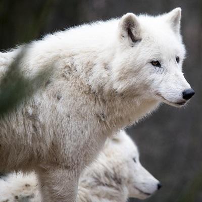 wolf001