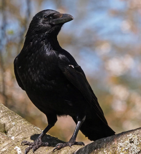 regal_crow