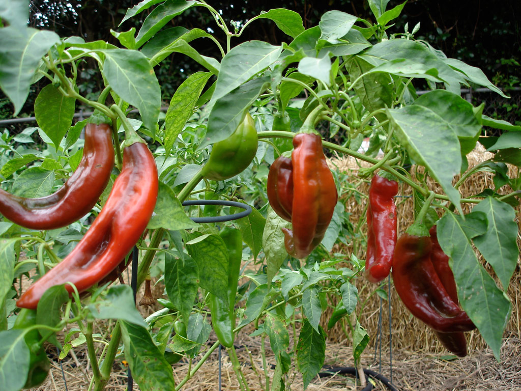 red-chile-peppers-on-plant-web