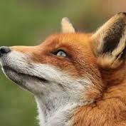 fox up