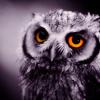 owl; smol