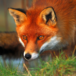 Fox intent